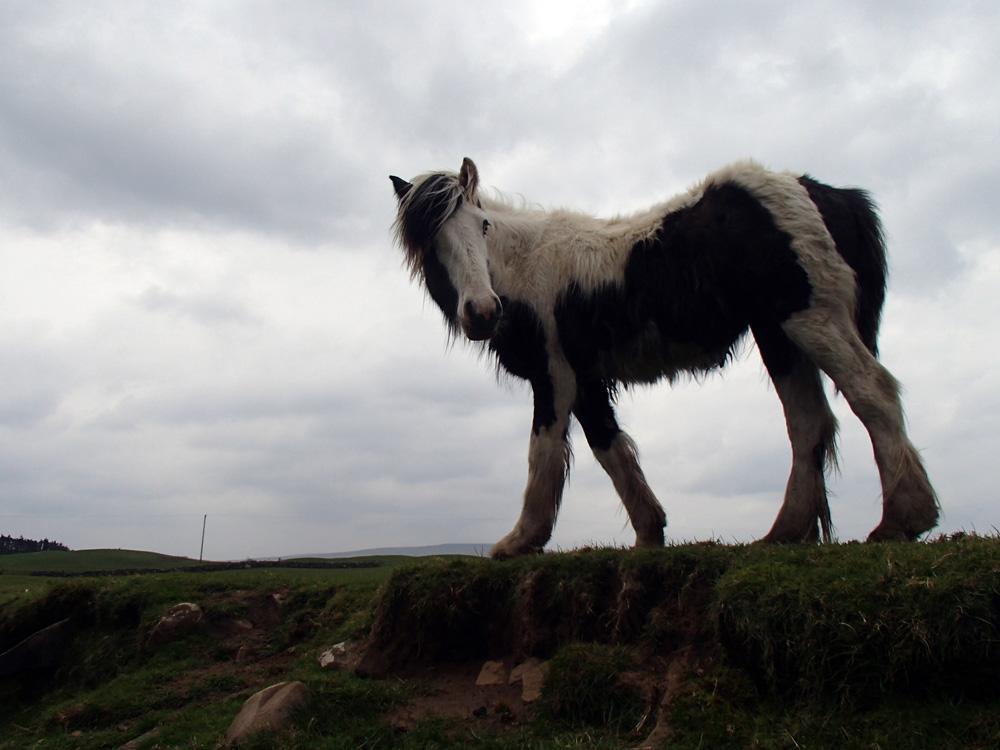 Cheval d'Irlande.